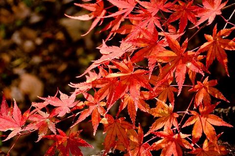 紅葉の季節ももうおしまいです。