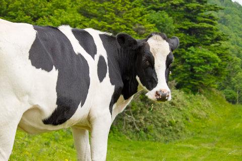 牛って可愛いですよね。