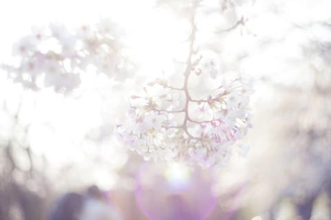 桜のように華やかに咲いても、すぐに散ってしまっては問題です。