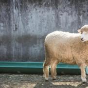 羊よ、さようなら。また12年後。