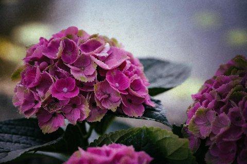 雨の中で紫陽花が咲いているような景況感