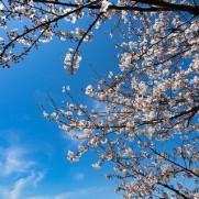 もうすぐ桜の季節ですが?